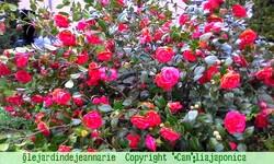 le camelia Japonica double fin des photos,fin de la floraison ,magnifique cette annèe