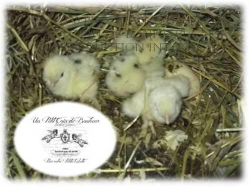 D'autres photos de mes poules soies dalmatien noir GR barbues.