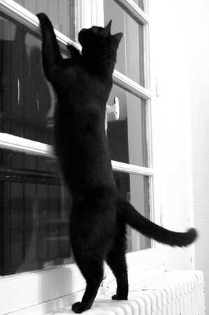 Chats noirs en exercice
