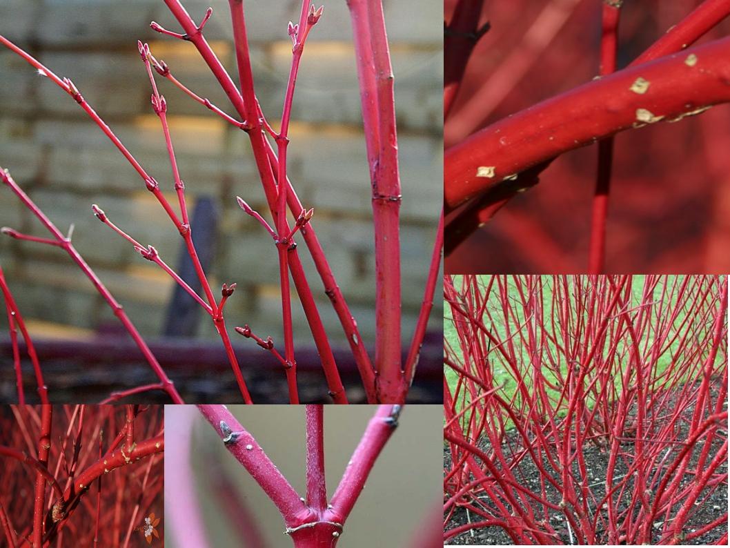 Le végétal : nomenclature : 40 arbres et arbustes en hiver