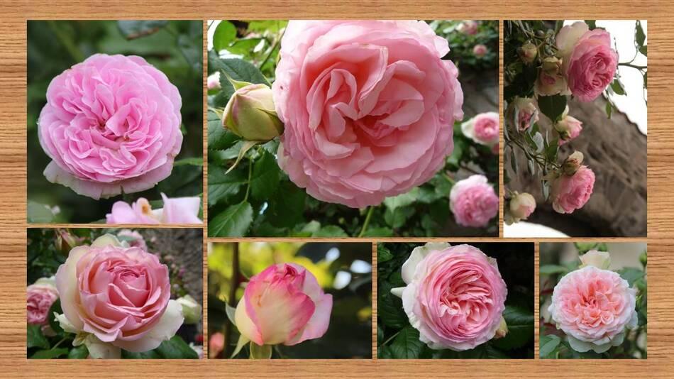 Eternelles Roses
