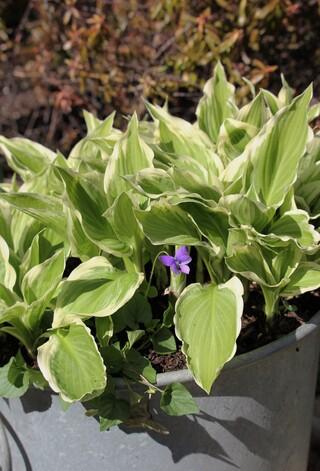 hosta crispula variegata + violette