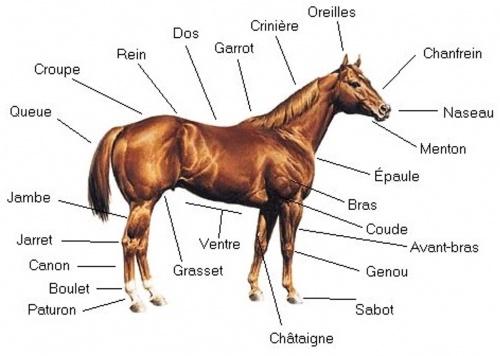Les partie du corps du cheval