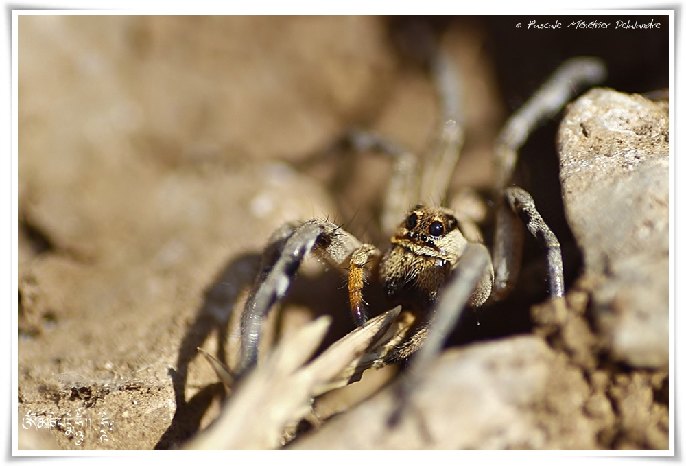 Lycose de Narbonne (Lycosa narbonensis)