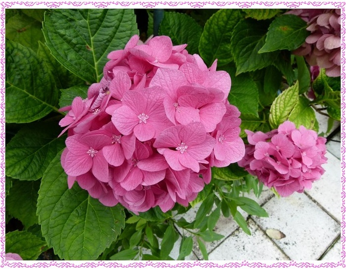 Du rose au jardin