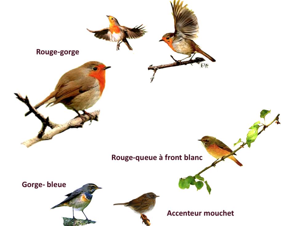 Portrait d'oiseaux (14): Le rouge-gorge (Erythacus rubecula )