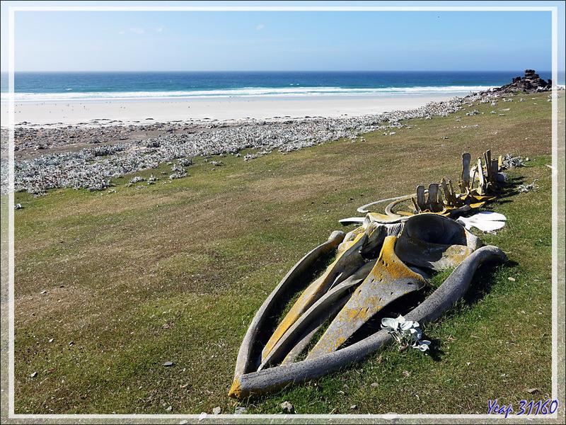 Squelette de baleine - The Neck (Le Cou) - Saunders Island - Falkland (Malvinas, Malouines) - Grande-Bretagne