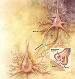 Cerveau, neurones et synapses
