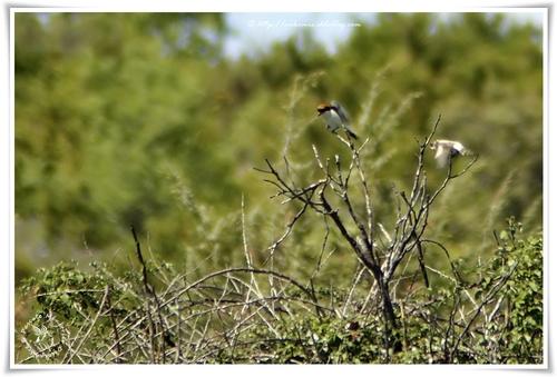 Pie-grièche à tête rousse - Lanius senator - Woodchat Shrike