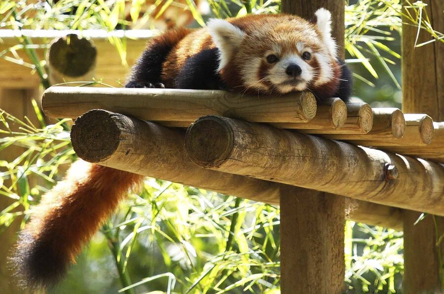 « Pandas Roux »