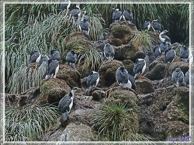 On trouve aussi des colonies de Cormorans impériaux - Cooper Bay - Géorgie du Sud