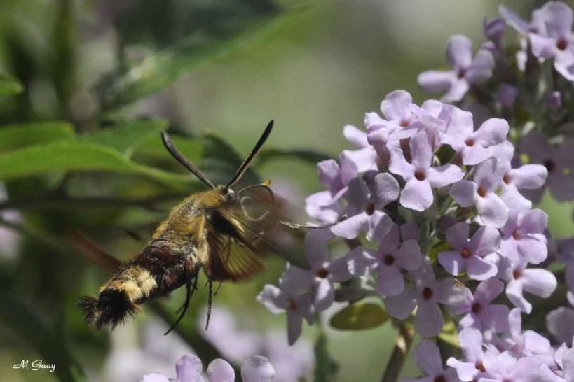 bourdon-papillon-1592