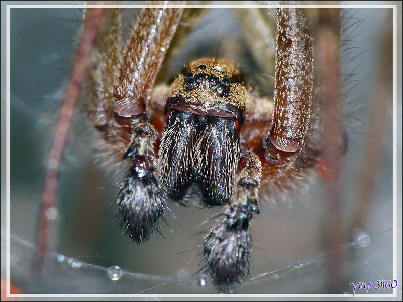Araignée Agélène labyrinthe mâle (Agelena labyrinthica) - Lartigau - Milhas - 31