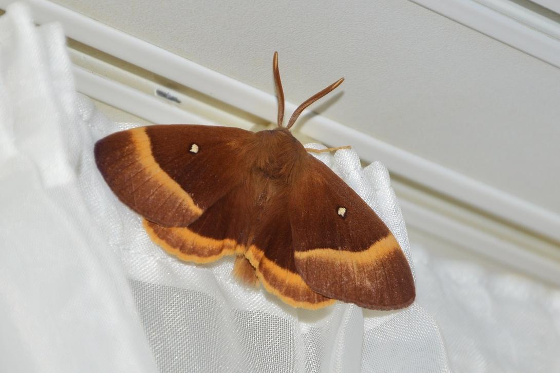 Le Bombyx du chêne ou Minime à bandes jaune (Lasiocampa quercus) Lasiocampidae