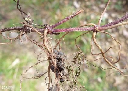 Glechoma hederacea - lierre terrestre