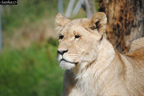 Jeune Lionne.