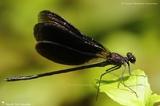 Odonata - Zygoptera