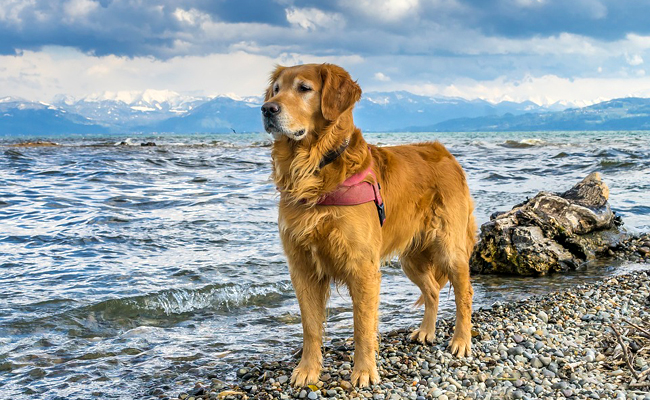 Le Golden Retriever : un chien intelligent