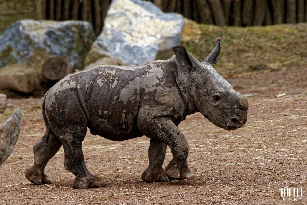 Eléonore et son petit rhinocéros blanc Sethemba (part.2)
