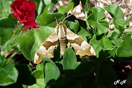 papillon-geranium-rouge.jpg
