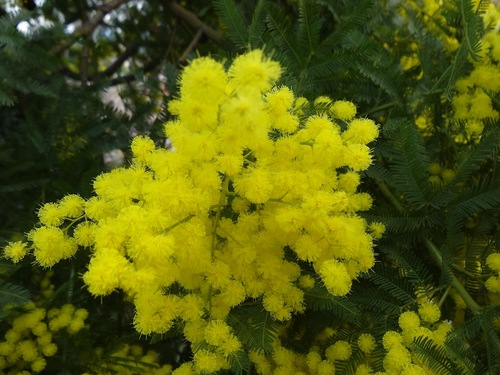 Mimosas au Trapan