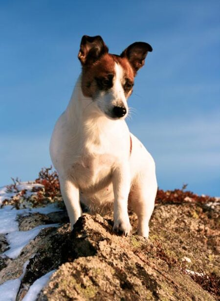 Races de chiens:  Jack Russel terrier