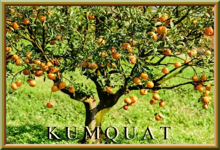 Fleurs cultivées : Kumquat