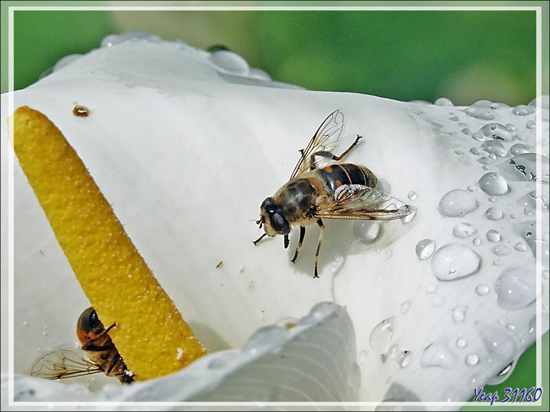 Mouche syrphe Eristale à rayures fines (Eristalis lineata) sur fleur d'arum après la pluie - Lartigau - Milhas - 31