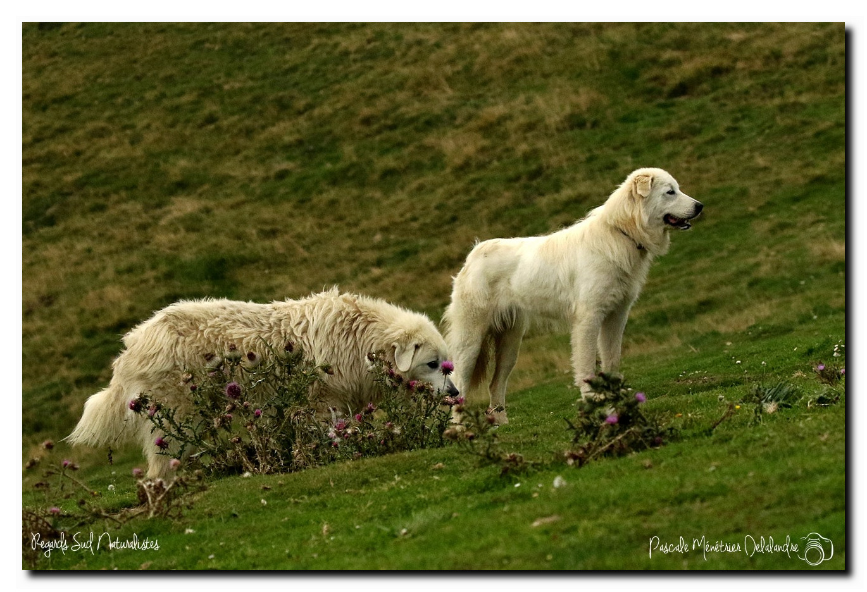 Patous dans les Hautes Pyrénées