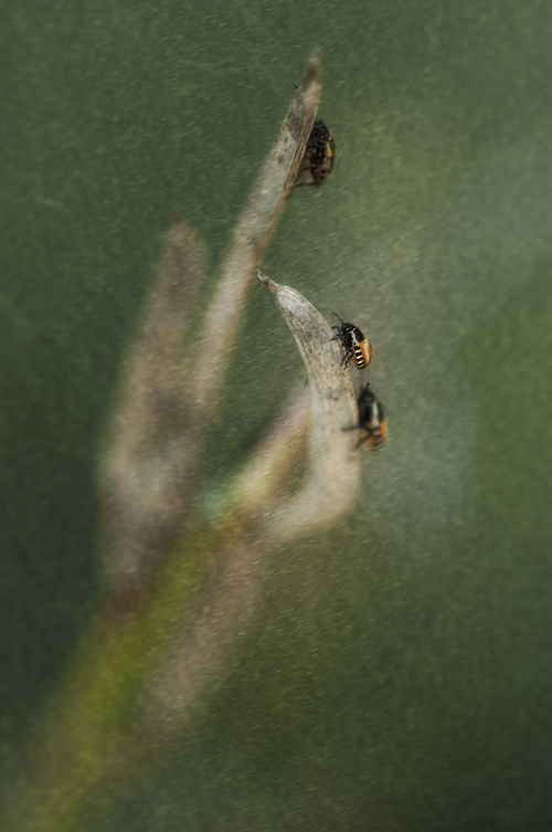 pentatomomorpha ventralis