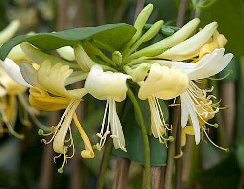 Fleurs cultivées : Chevrefeuille
