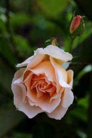 Roseraie - Juin (4/4)