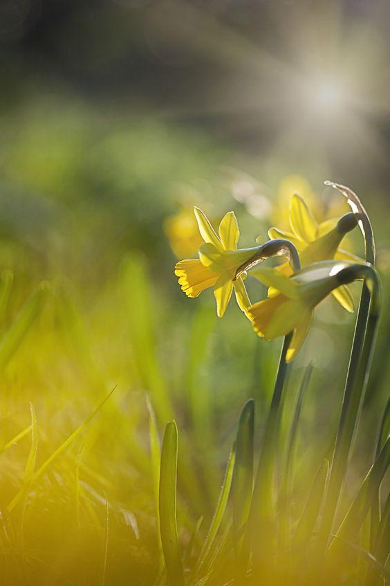 La jonquille est une très belle fleur, caractérisée par sa belle couleur jaune !  Découvrez vite juste ici quelle plante correspond à votre personnalité