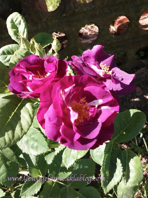 Beautés violettes/ Purple beauties