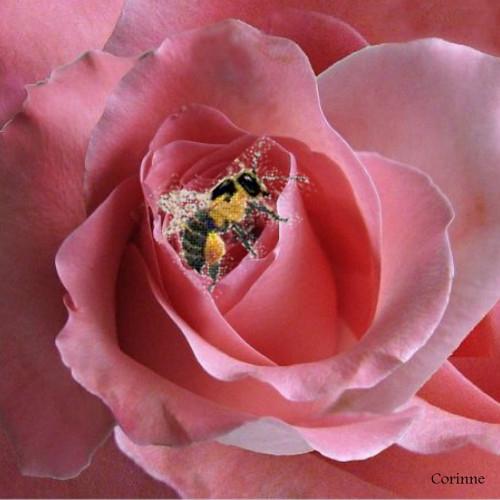 Tout près d'une rose