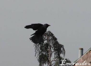 Photo Oiseaux, chouca des tours - 22.05.11