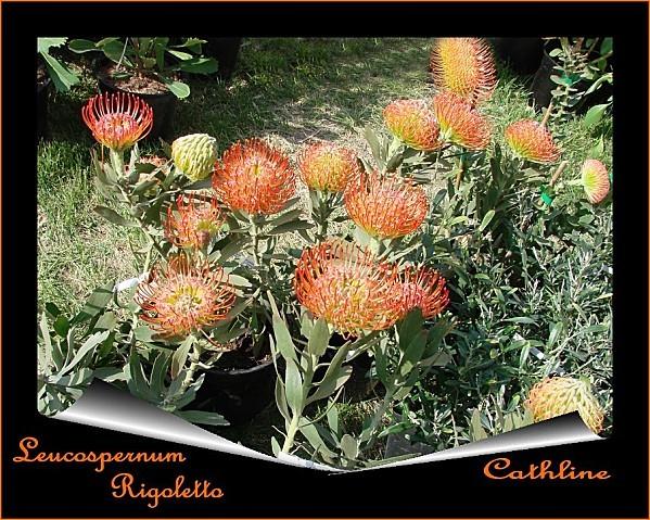 exotique leucospernum rigoletto
