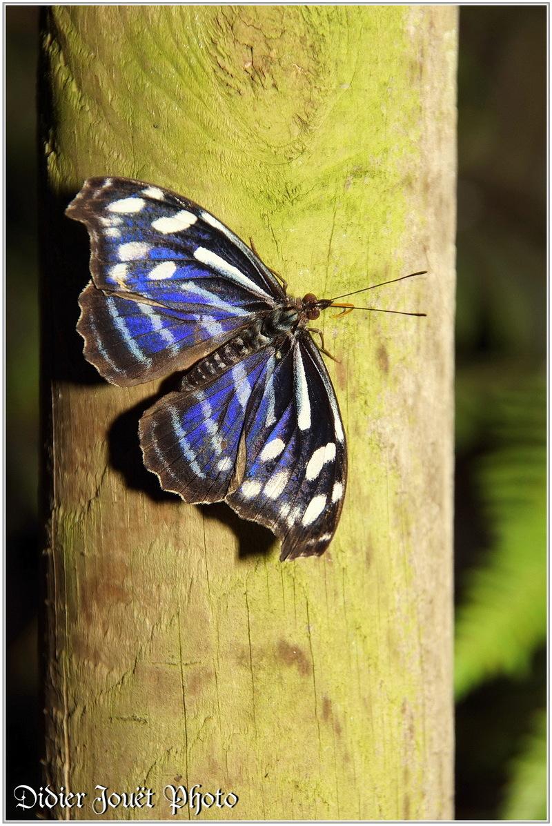 Petite Tache (1) - Myscelia cyaniris