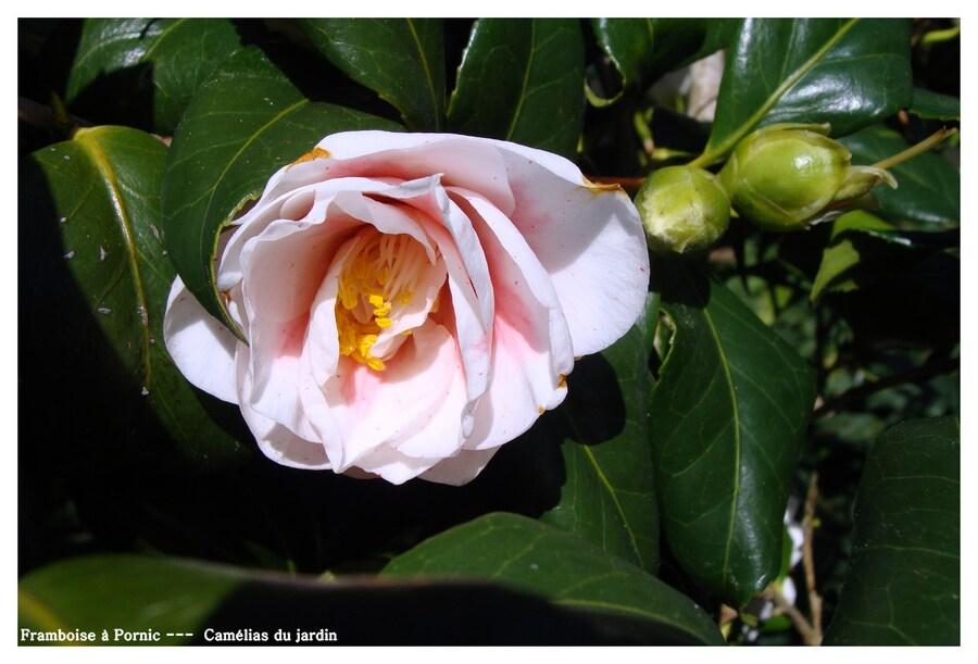 Camélia du jardin
