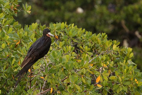 Frégate superbe - Île aux oiseaux