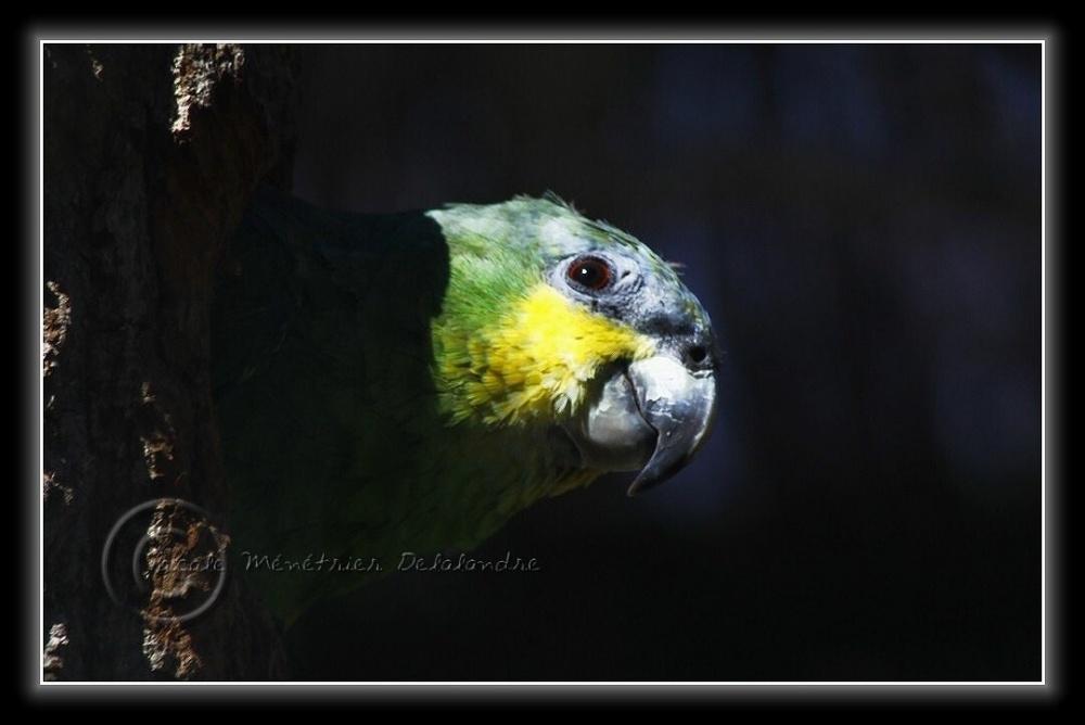 Cache-cache avec un Amazone à ailes orange...