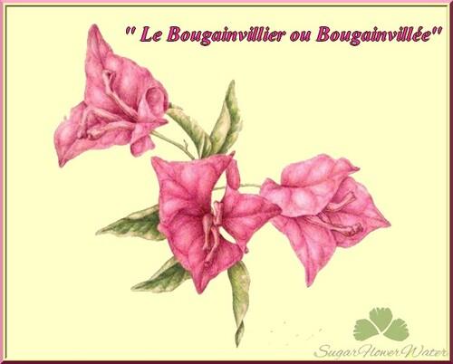 Le bougainvillier en Provence