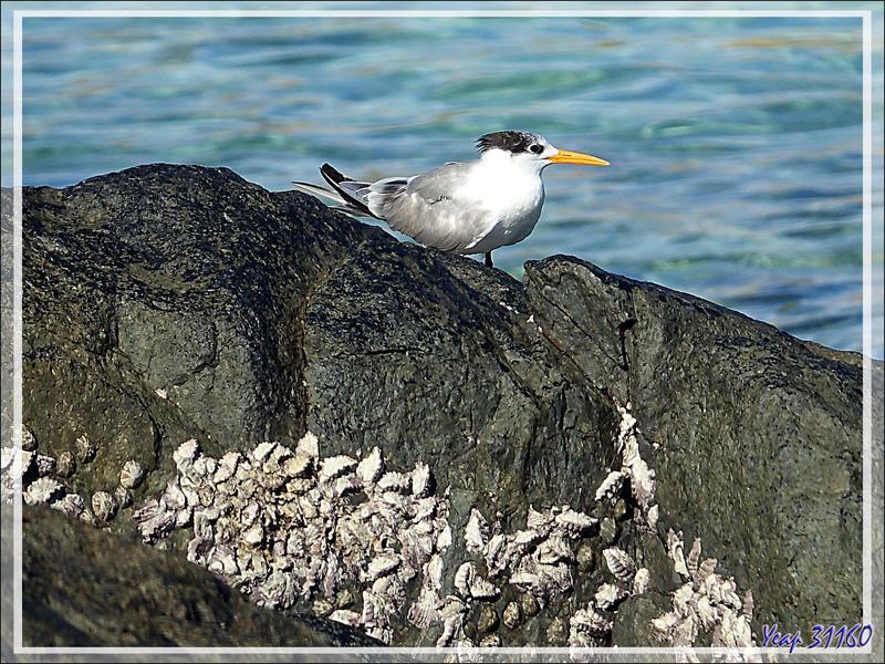 Sterne huppée, Greater Crested Tern (Thalasseus bergii) - Presqu'île de Nosy Tsarabanjina - Archipel des Mitsio - Madagascar