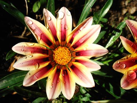 Gazania, (Gazania), fleur du jardin