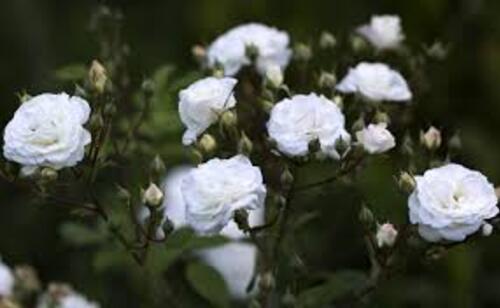 La rose du samedi géré par Jean Pierre