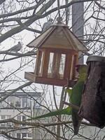 Halsbandsittich am Vogelhaus