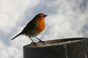 oiseaux rouge gorge 2