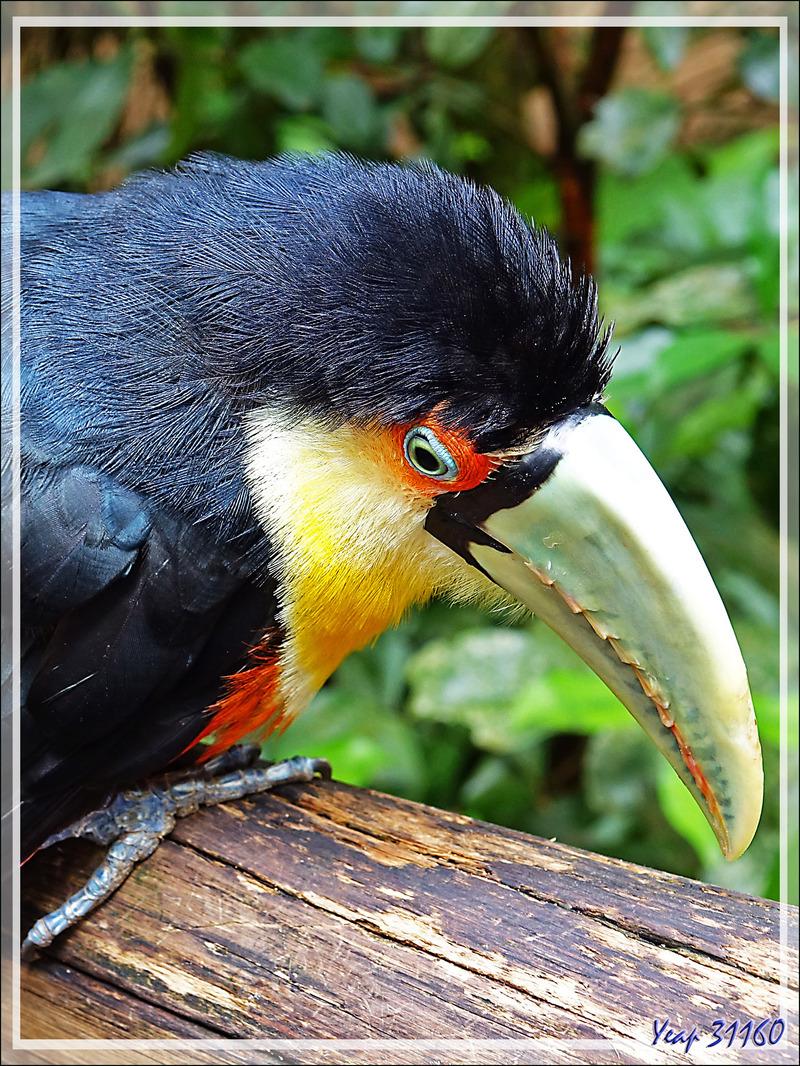 Toucan à ventre rouge, Green-billed toucan (Ramphastos dicolorus) - Parque das Aves - Foz do Iguaçu - Brésil