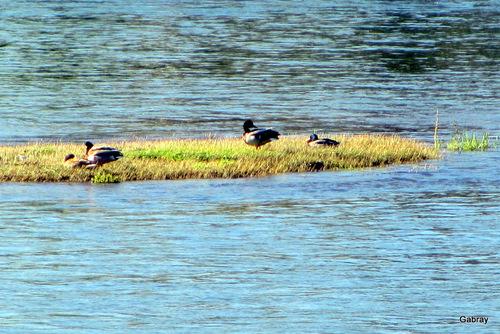 Portet sur Garonne: gravière aux canards …