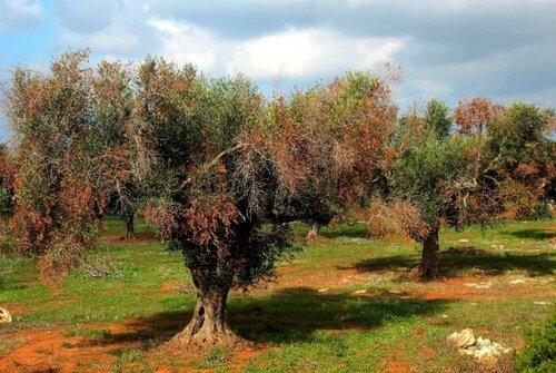 Les oliviers sont les premières victimes de la bactérie Xylella !